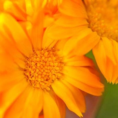 Orange Calendula Flowers