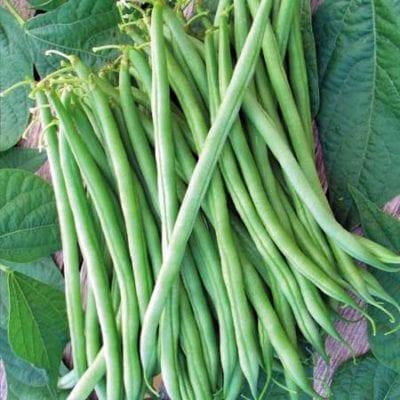Bean, Calima Bush 1