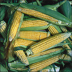 Corn, Golden Bantam Improved (Organic) 1