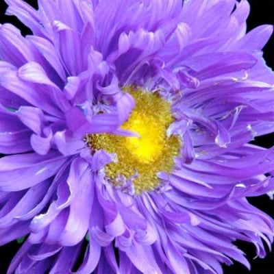 Asters, Crego Mix 1