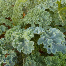 Kale, Dwarf Siberian 1