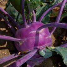 Kohlrabi, Early Purple Vienna 1