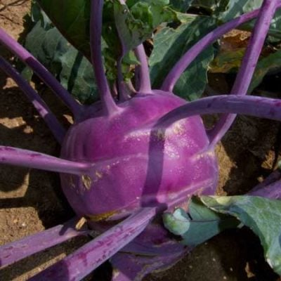 Kohlrabi, Early Purple Vienna 1
