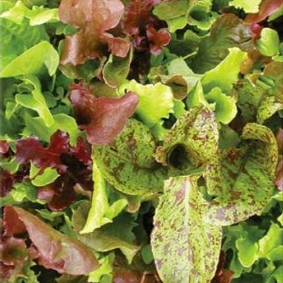 Lettuce, Rocky Top Mix 1