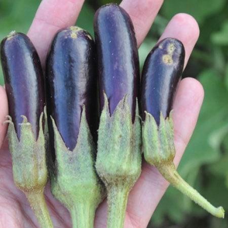Little Fingers Eggplant Seeds Planet Natural