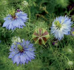 Love-in-a-Mist (Oxford Blue) 1
