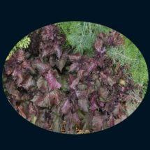 Perilla, Purple (Zi Su aka Shiso) 1
