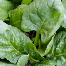 Spinach, Gigante D'Inverno 1