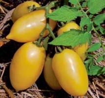 Tomato, Cream Sausage 1