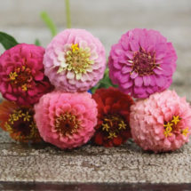 Zinnia, Button Box 1